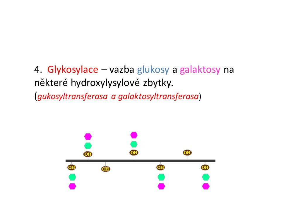 4. Glykosylace – vazba glukosy a galaktosy na některé hydroxylysylové zbytky.