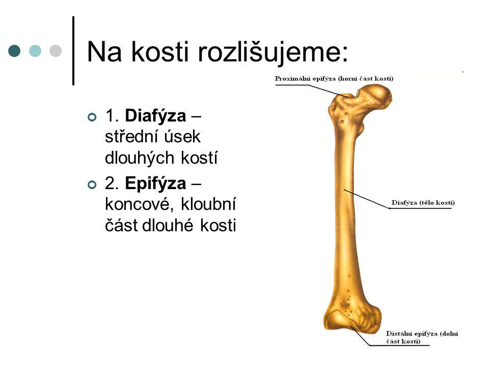 Na kosti rozlišujeme: 1. Diafýza – střední úsek dlouhých kostí