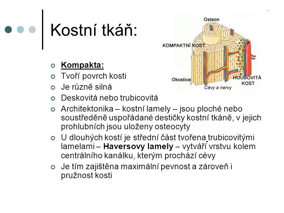 Kostní tkáň: Kompakta: Tvoří povrch kosti Je různě silná