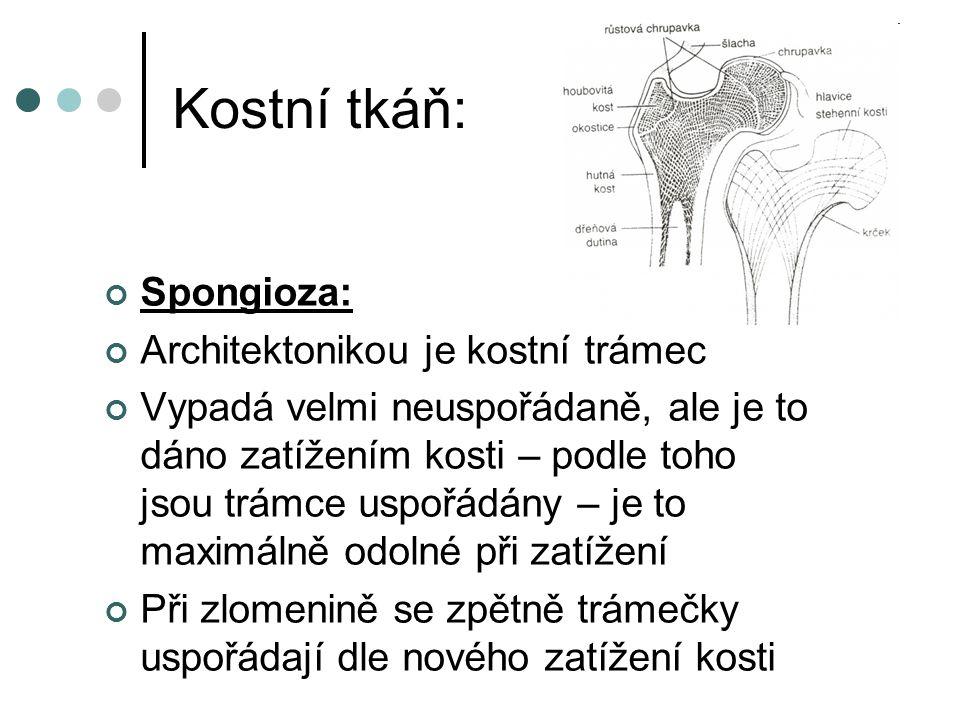 Kostní tkáň: Spongioza: Architektonikou je kostní trámec