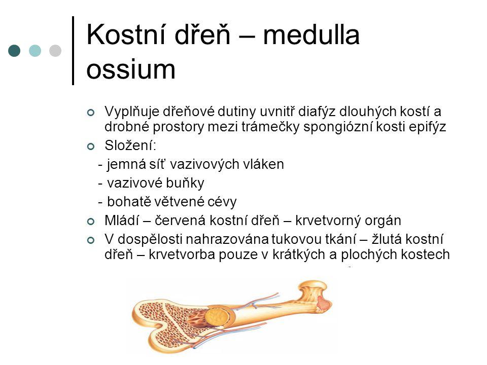 Kostní dřeň – medulla ossium
