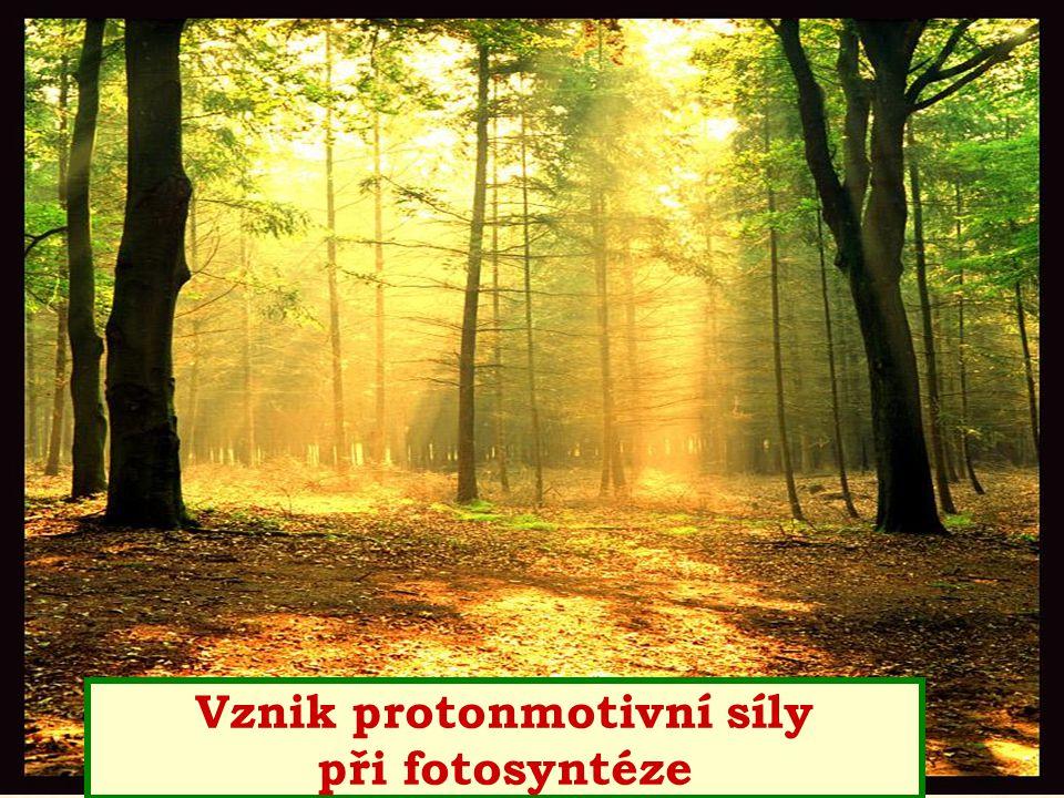 Vznik protonmotivní síly při fotosyntéze