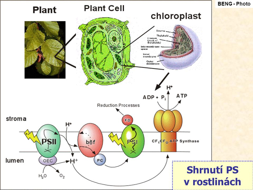 Shrnutí PS v rostlinách