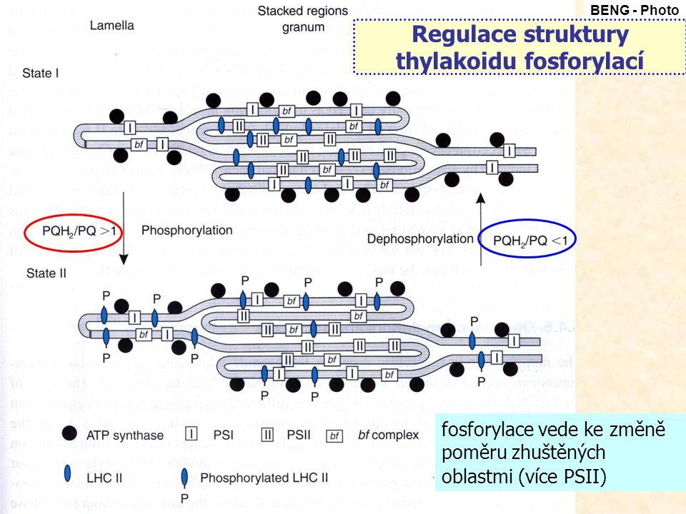 Regulace struktury thylakoidu fosforylací