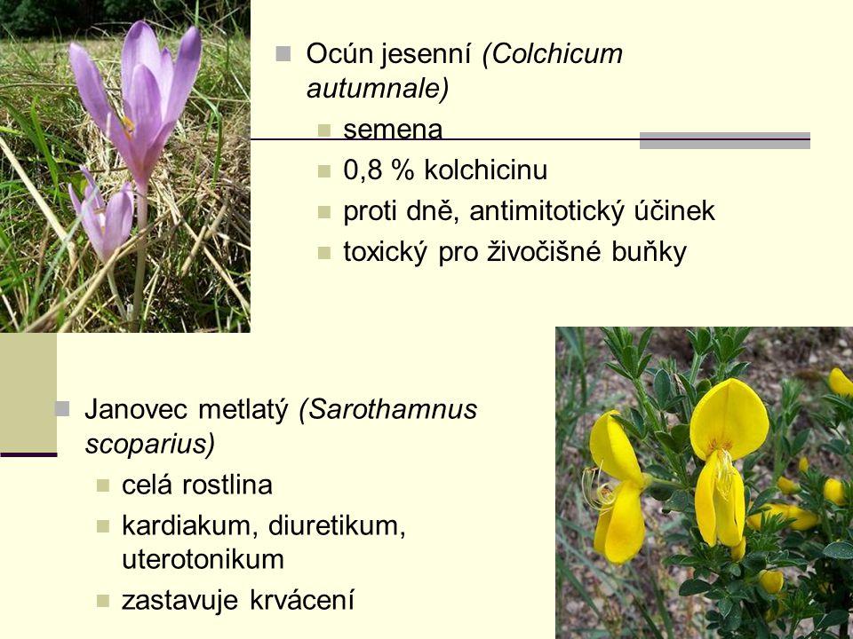 Ocún jesenní (Colchicum autumnale)