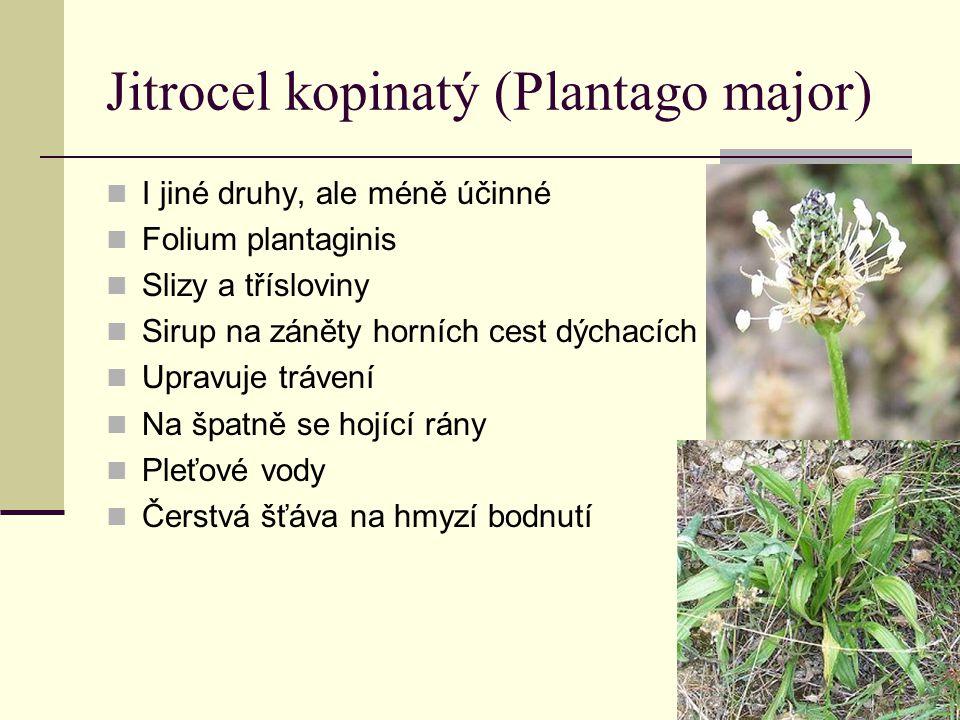 Jitrocel kopinatý (Plantago major)