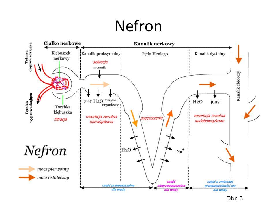 Nefron Obr. 3