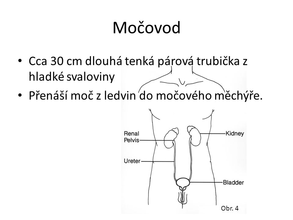 Močovod Cca 30 cm dlouhá tenká párová trubička z hladké svaloviny