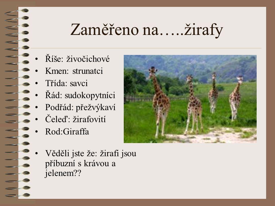 Zaměřeno na…..žirafy Říše: živočichové Kmen: strunatci Třída: savci