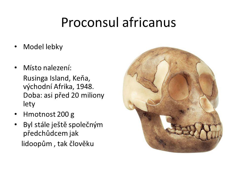 Proconsul africanus Model lebky Místo nalezení: