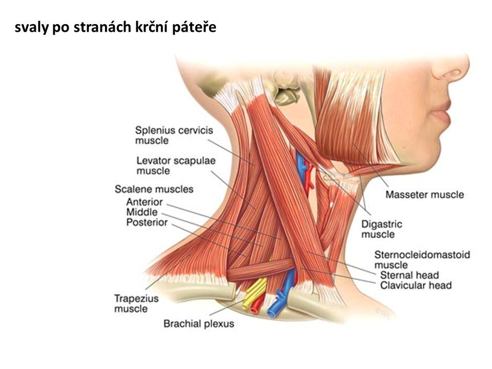svaly po stranách krční páteře