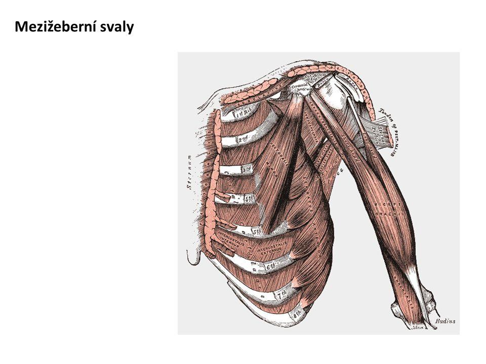 Mezižeberní svaly