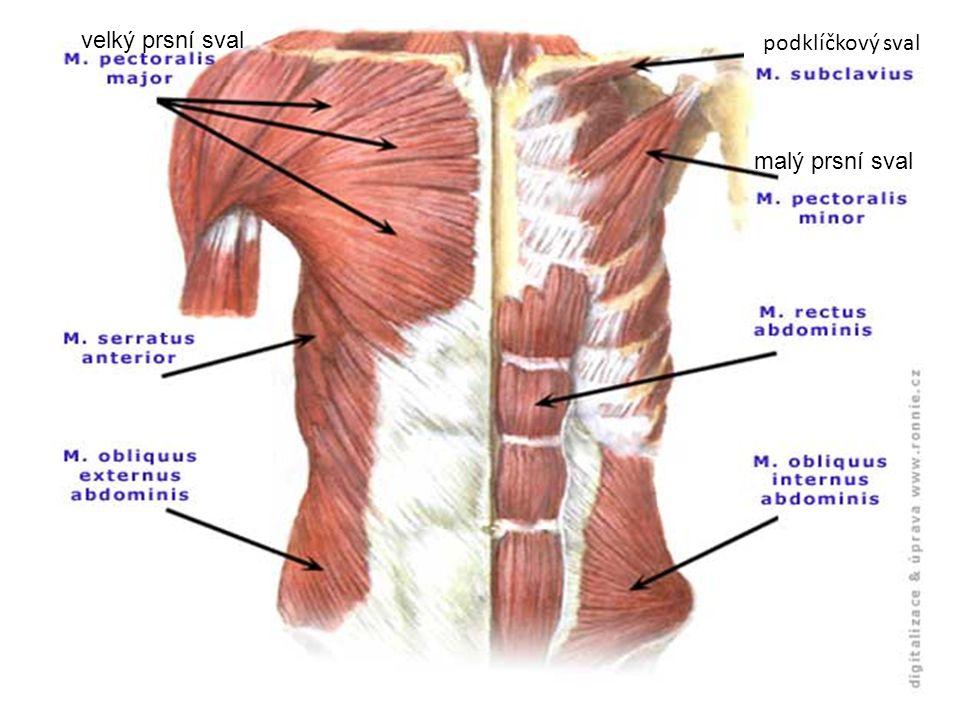 velký prsní sval podklíčkový sval malý prsní sval
