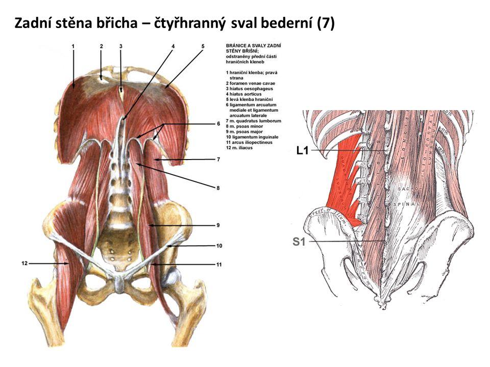 Zadní stěna břicha – čtyřhranný sval bederní (7)