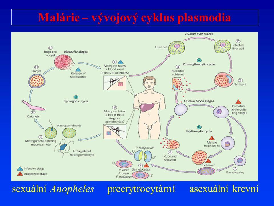Malárie – vývojový cyklus plasmodia
