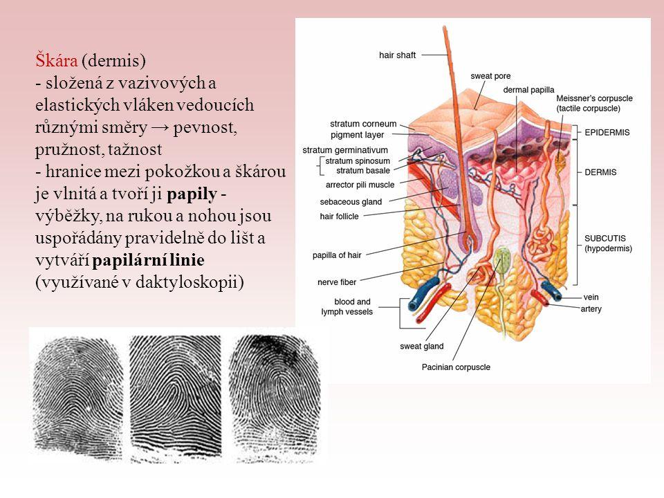 Škára (dermis) - složená z vazivových a elastických vláken vedoucích různými směry → pevnost, pružnost, tažnost.