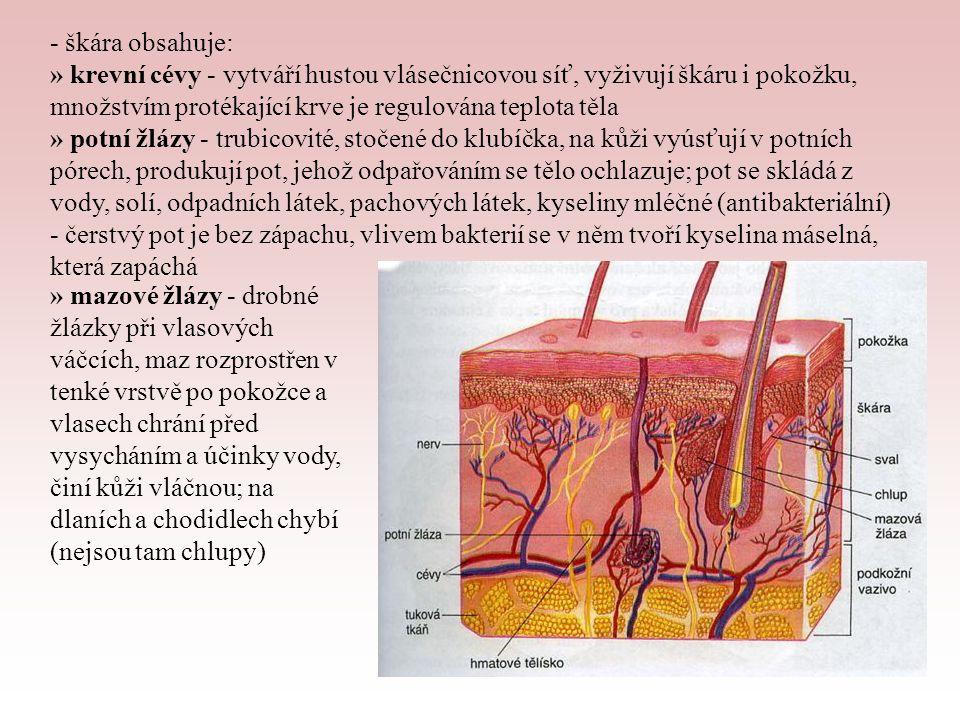 - škára obsahuje: » krevní cévy - vytváří hustou vlásečnicovou síť, vyživují škáru i pokožku, množstvím protékající krve je regulována teplota těla.