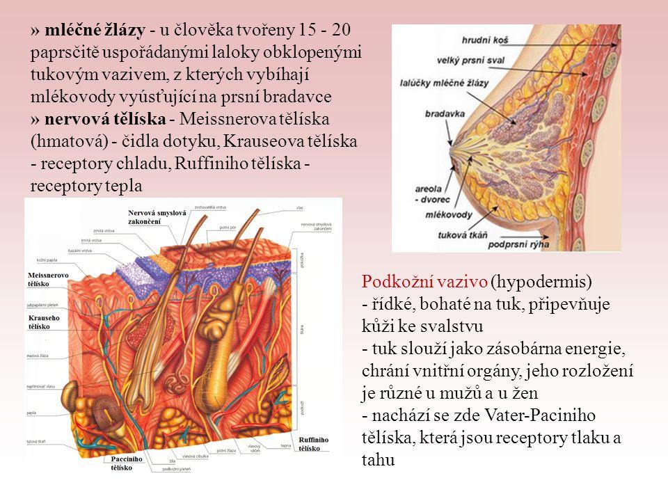 » mléčné žlázy - u člověka tvořeny 15 - 20 paprsčitě uspořádanými laloky obklopenými tukovým vazivem, z kterých vybíhají mlékovody vyúsťující na prsní bradavce