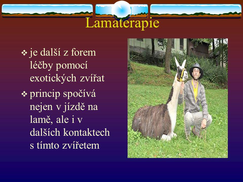 Lamaterapie je další z forem léčby pomocí exotických zvířat