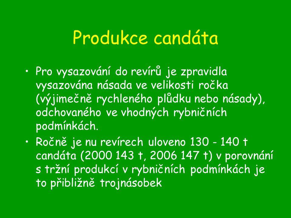 Produkce candáta