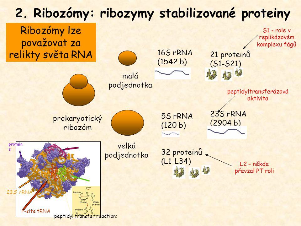 2. Ribozómy: ribozymy stabilizované proteiny