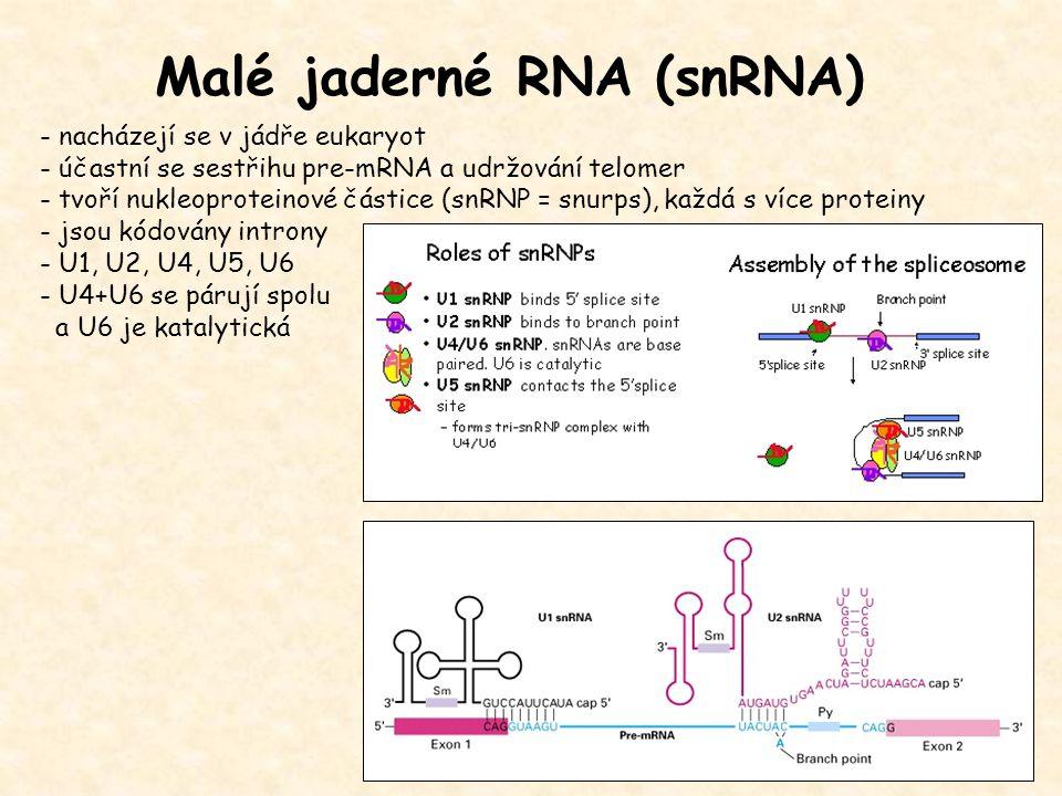 Malé jaderné RNA (snRNA)