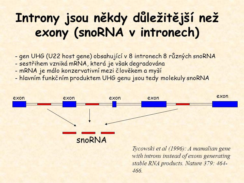 Introny jsou někdy důležitější než exony (snoRNA v intronech)