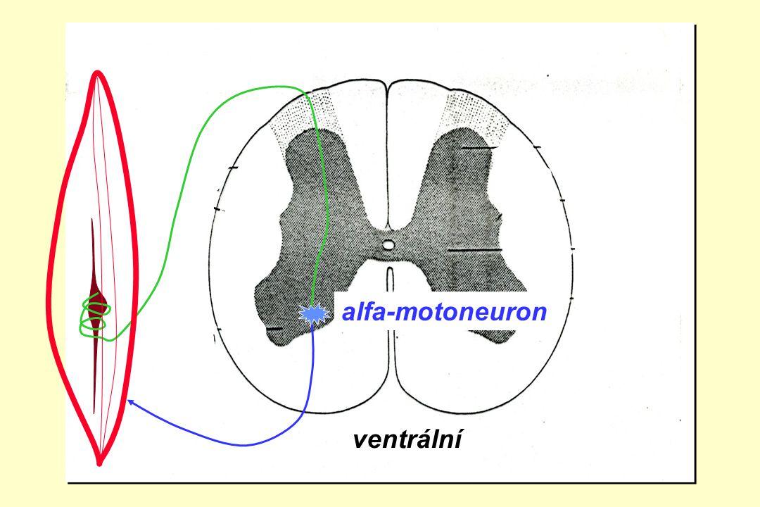 zadní boční přední roh alfa-motoneuron ventrální