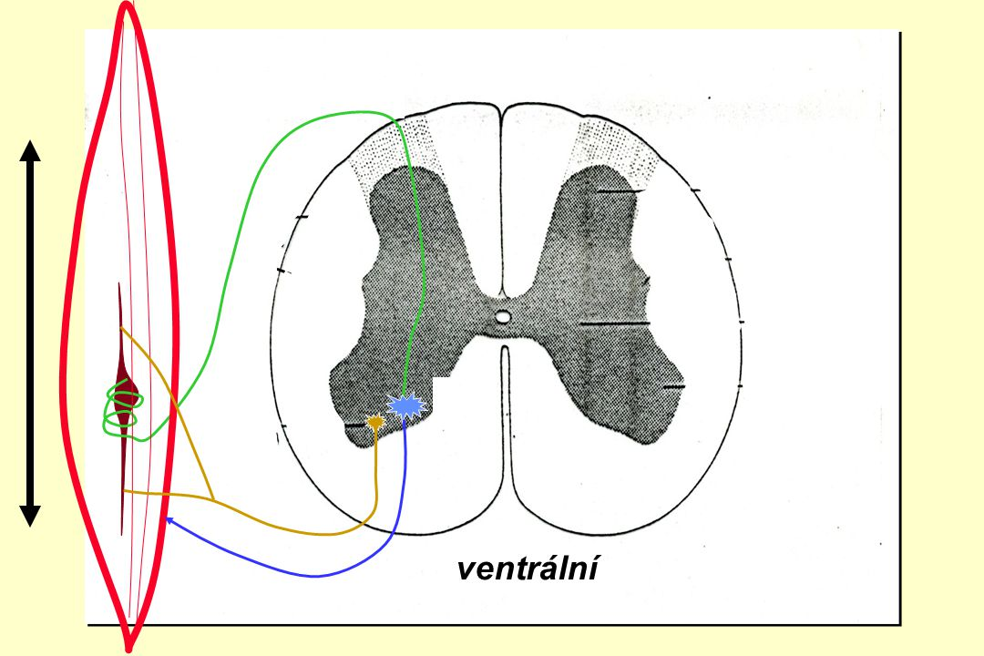 zadní boční přední roh ventrální