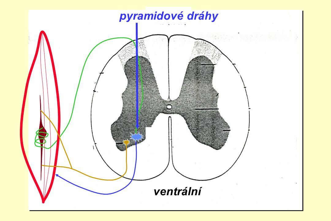 pyramidové dráhy zadní boční přední roh ventrální