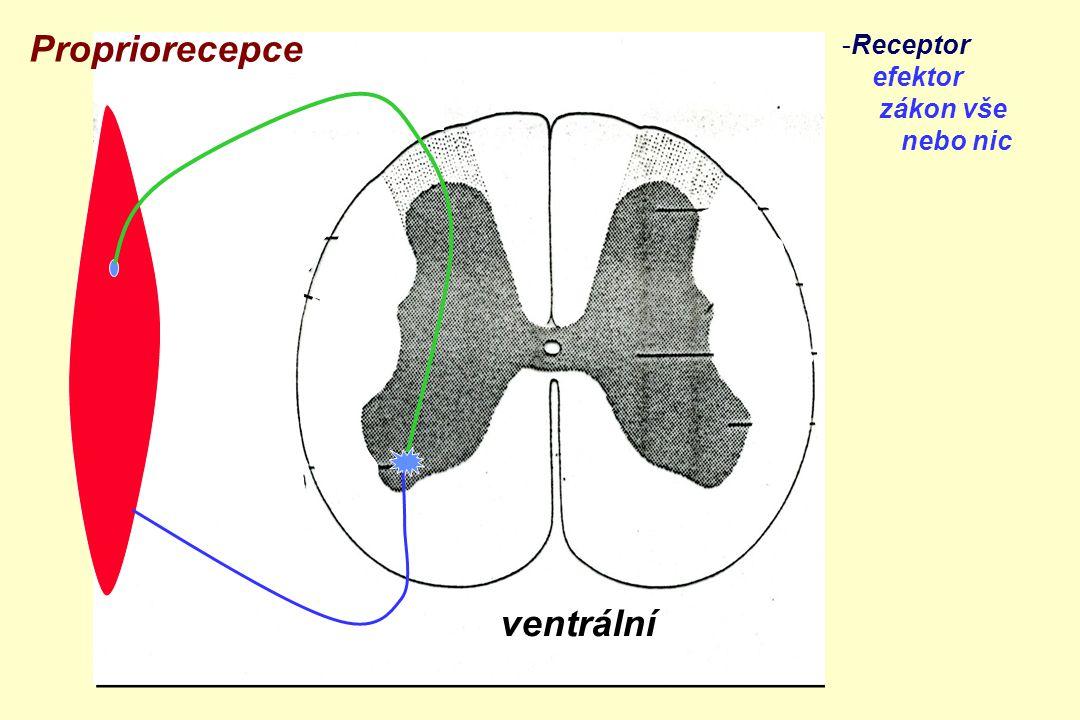 Propriorecepce ventrální Receptor efektor zákon vše nebo nic zadní