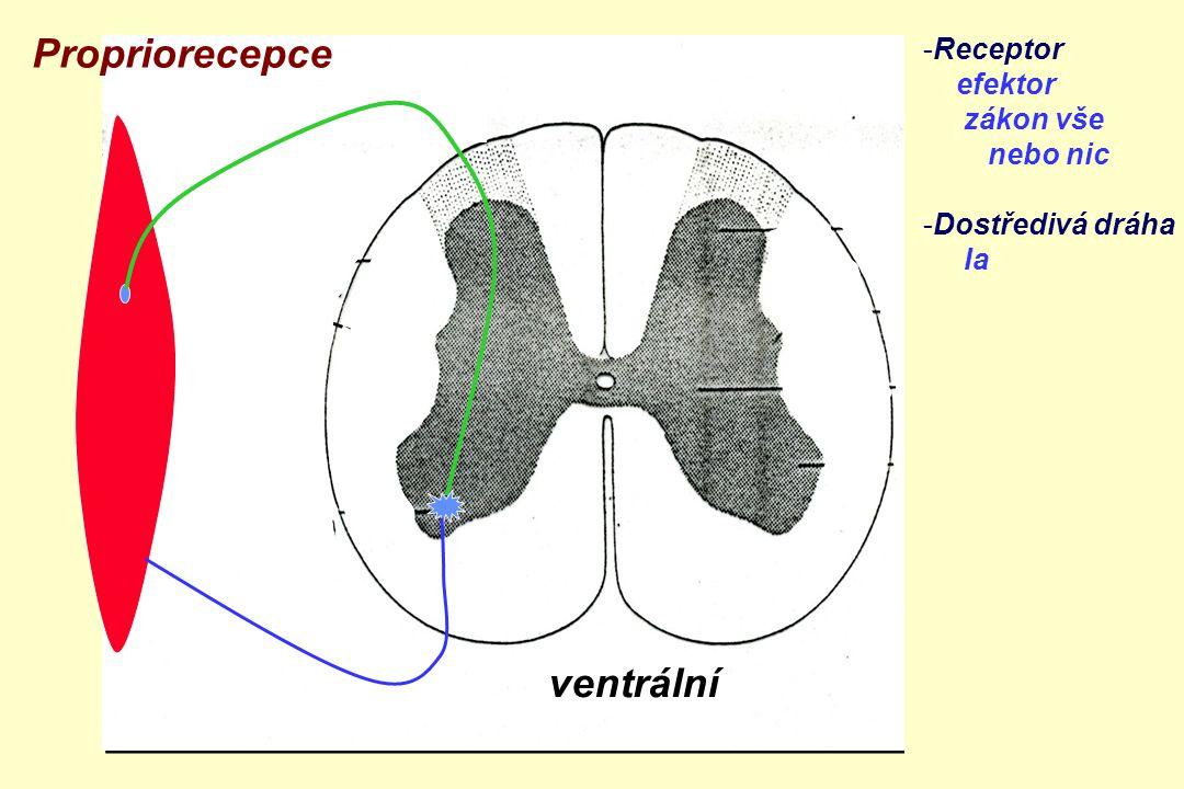 Propriorecepce ventrální Receptor efektor zákon vše nebo nic