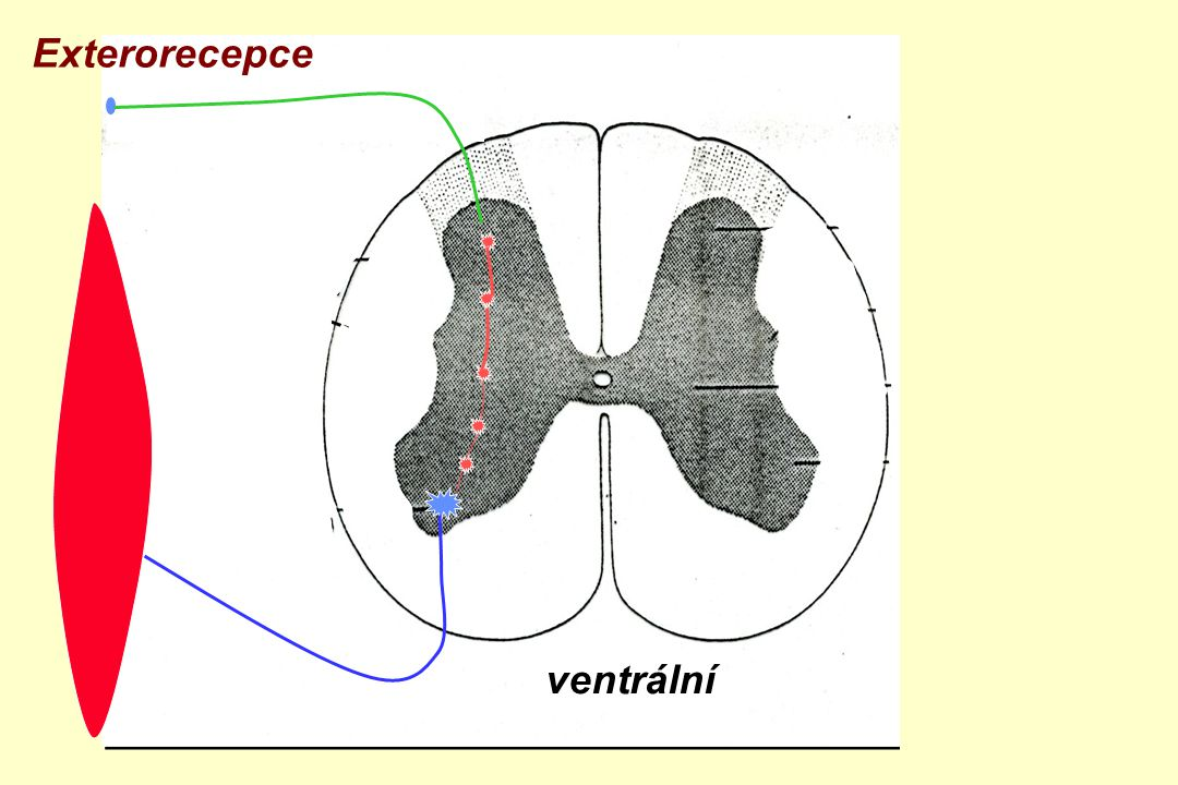 Exterorecepce zadní boční přední roh ventrální