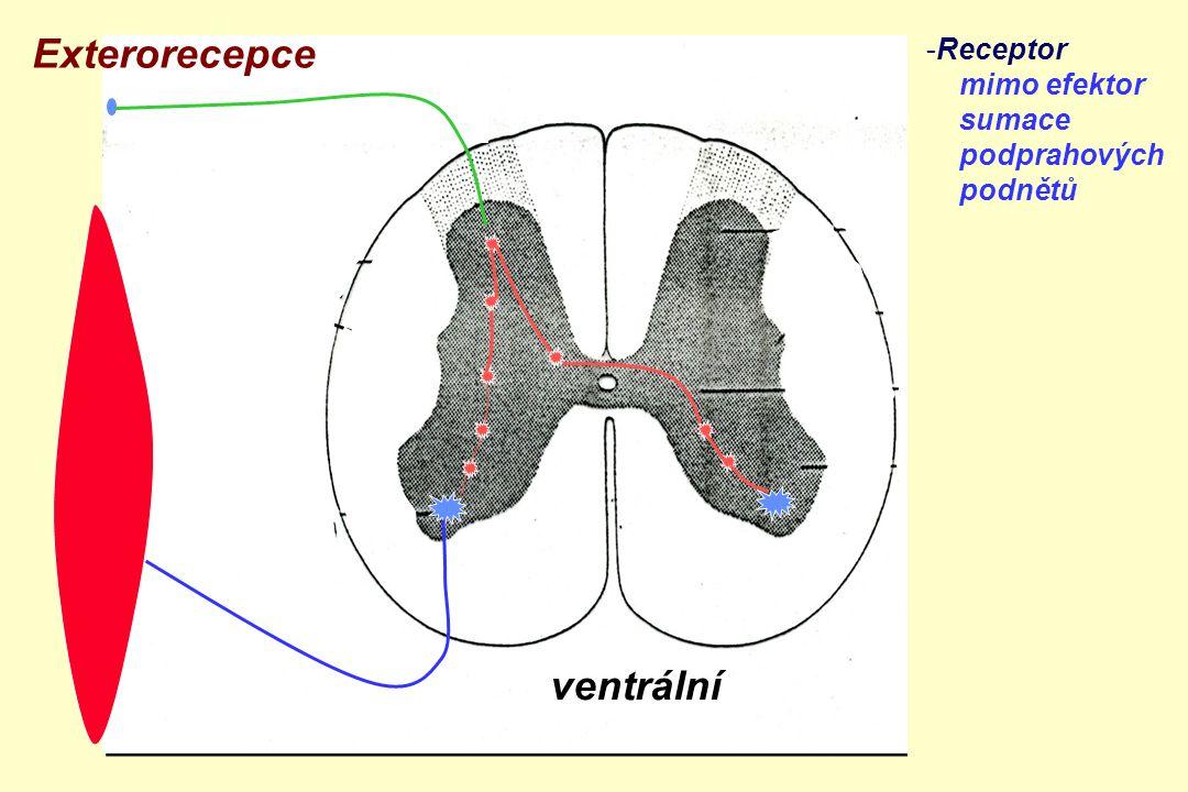 Exterorecepce ventrální Receptor mimo efektor sumace podprahových