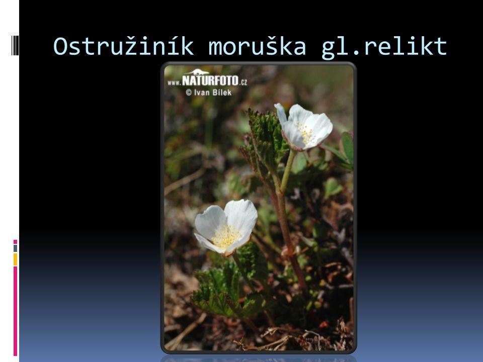 Ostružiník moruška gl.relikt