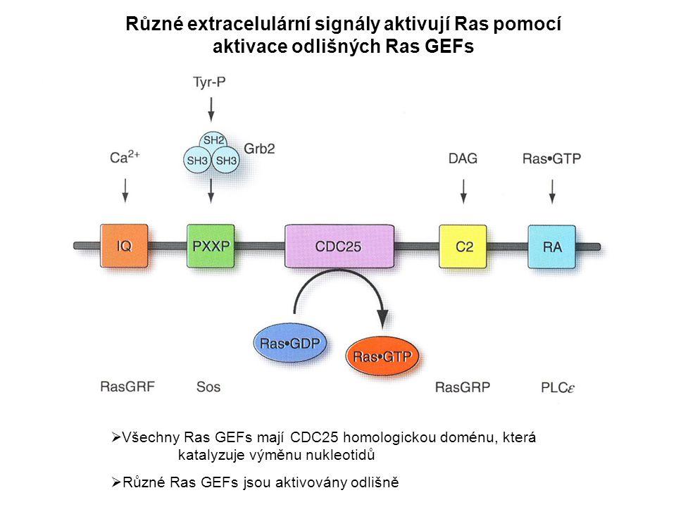 Různé extracelulární signály aktivují Ras pomocí aktivace odlišných Ras GEFs
