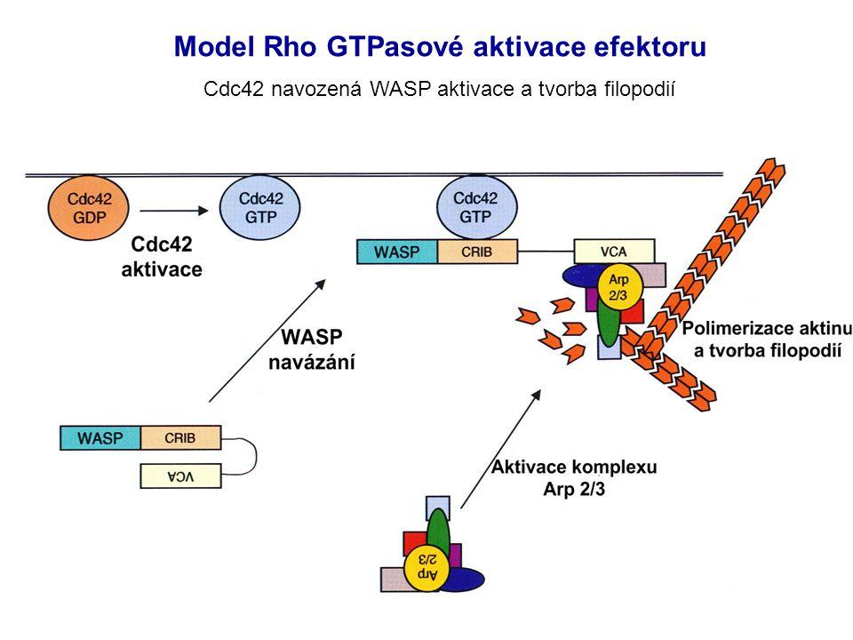 Model Rho GTPasové aktivace efektoru