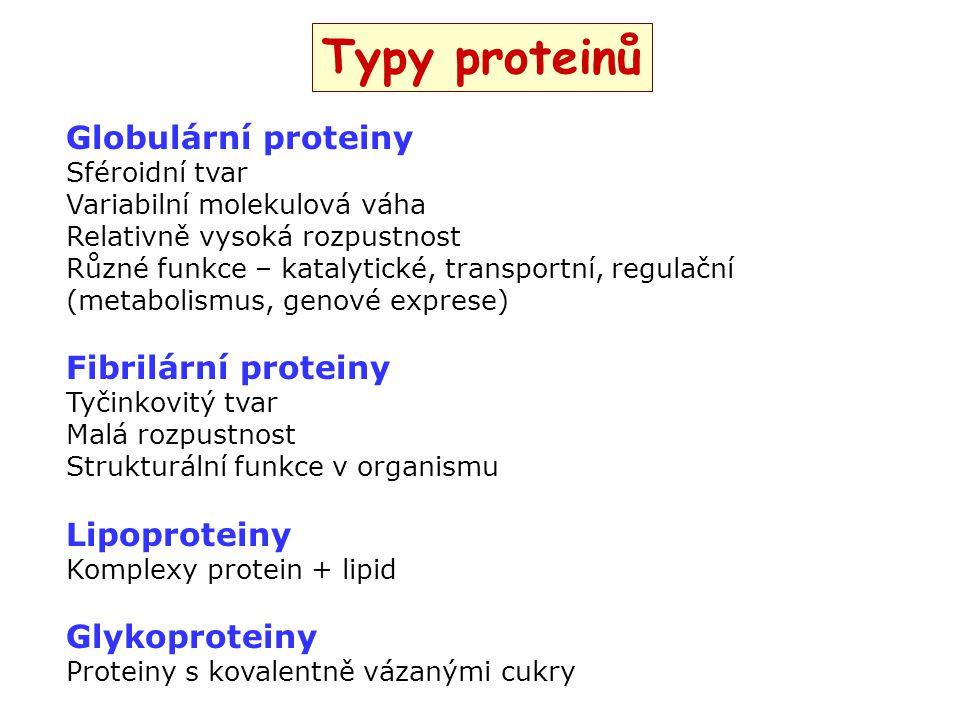 Typy proteinů Globulární proteiny Fibrilární proteiny Lipoproteiny