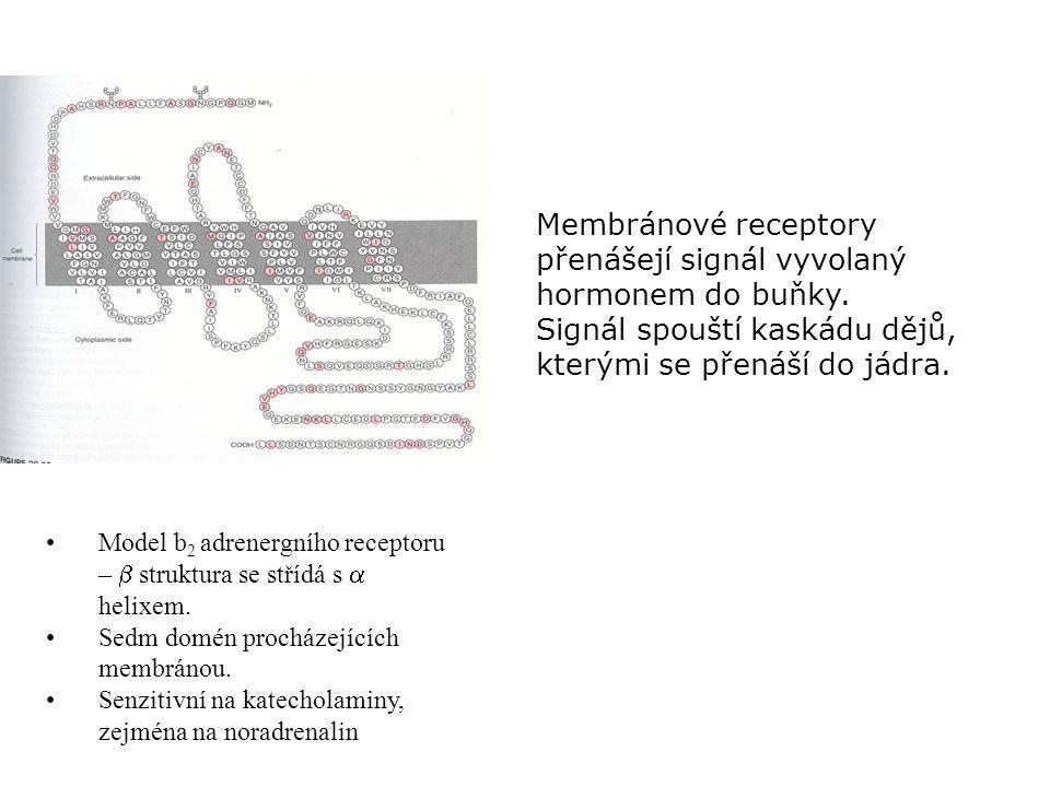 Membránové receptory přenášejí signál vyvolaný hormonem do buňky.