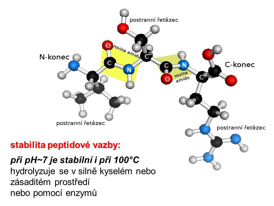 stabilita peptidové vazby: