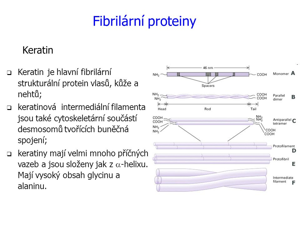Fibrilární proteiny Keratin