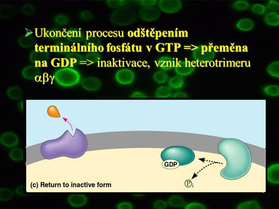 Ukončení procesu odštěpením terminálního fosfátu v GTP => přeměna na GDP => inaktivace, vznik heterotrimeru abg