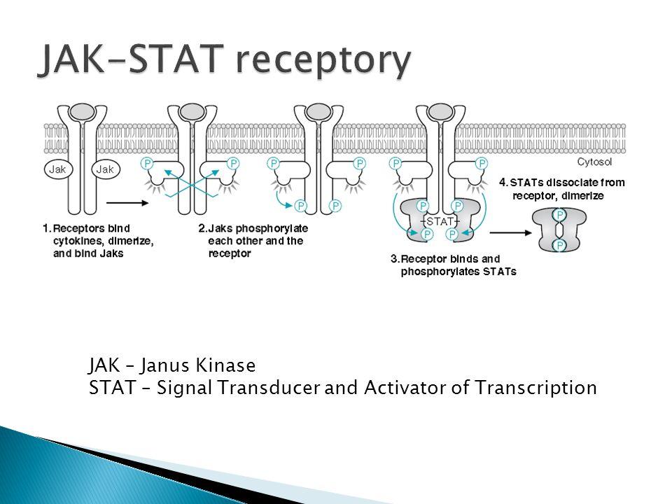 JAK-STAT receptory JAK – Janus Kinase