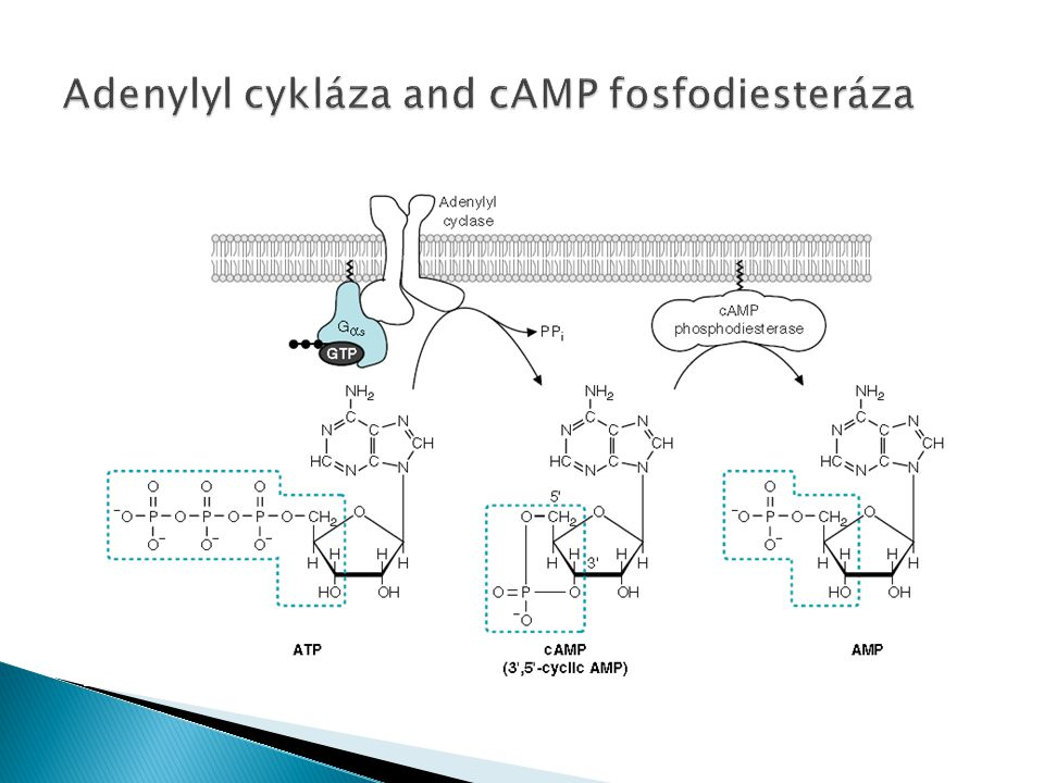 Adenylyl cykláza and cAMP fosfodiesteráza