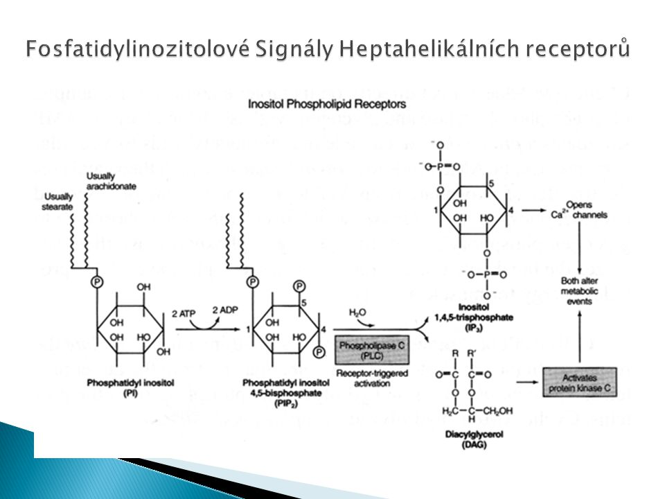 Fosfatidylinozitolové Signály Heptahelikálních receptorů