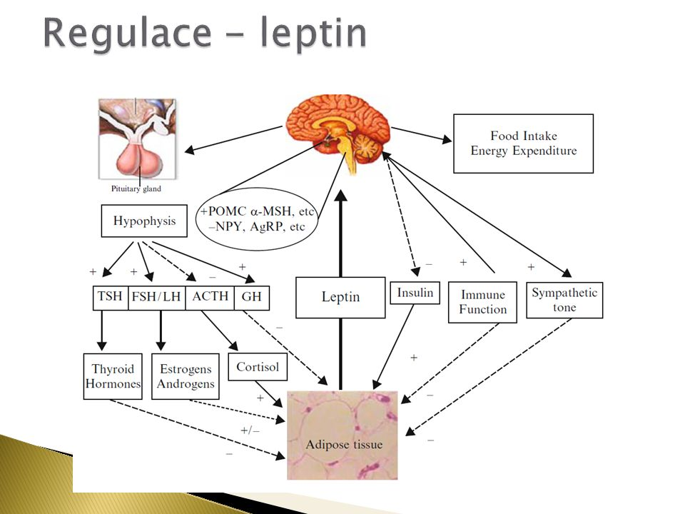 Regulace - leptin