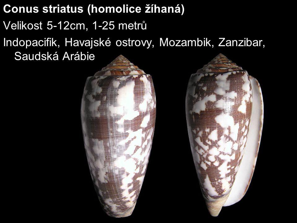 Conus striatus (homolice žíhaná)