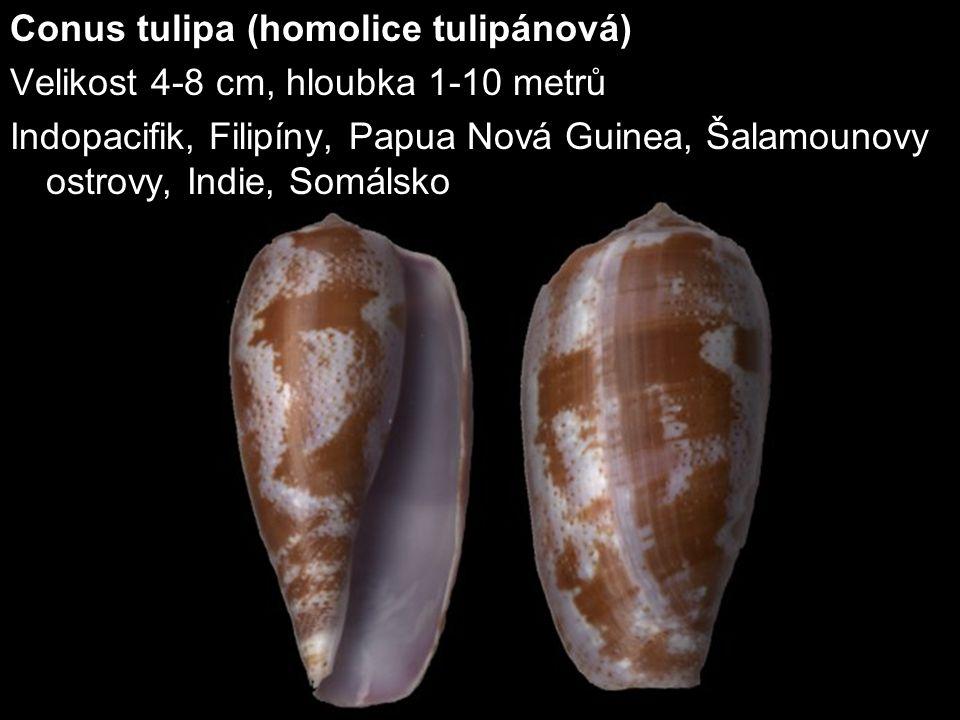 Conus tulipa (homolice tulipánová)