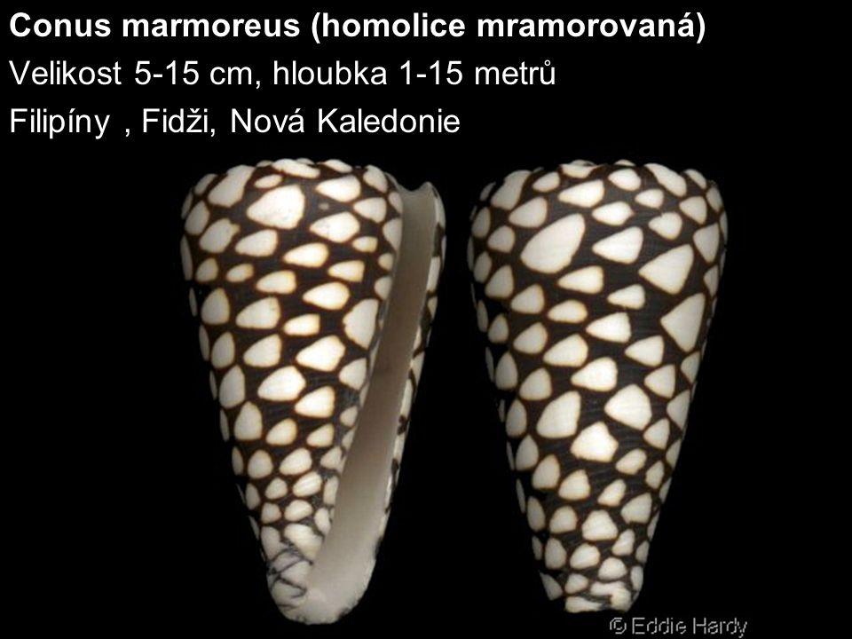 Conus marmoreus (homolice mramorovaná)