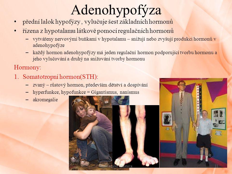 Adenohypofýza přední lalok hypofýzy , vylučuje šest základních hormonů